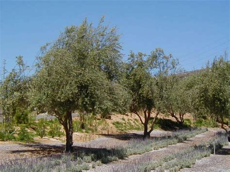 fruitless olive tree growth rate olea europaea