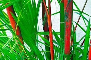 Bambus Vernichten Tipps : roter bambus pflanzen so gehen sie richtig vor ~ Whattoseeinmadrid.com Haus und Dekorationen
