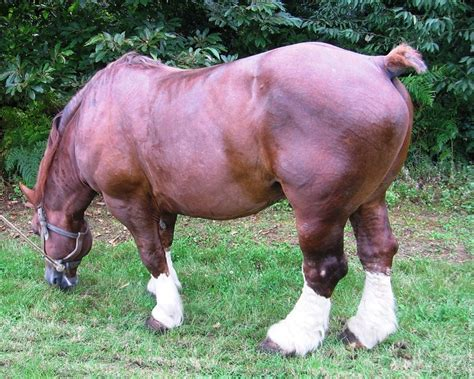 breton horse horses tail dock cheval draft breeds massive muscle breed belgian um clydesdale trait chevaux ecran fond pretty most