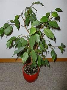 Ficus Benjamini Verliert Alle Blätter : zimmerpflanze birkenfeige ficus benjamini pflanze top ~ Lizthompson.info Haus und Dekorationen