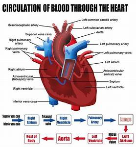 Conditions Circulation A9 : labelled figure of the circulation of blood through the heart science for secondary grades ~ Medecine-chirurgie-esthetiques.com Avis de Voitures