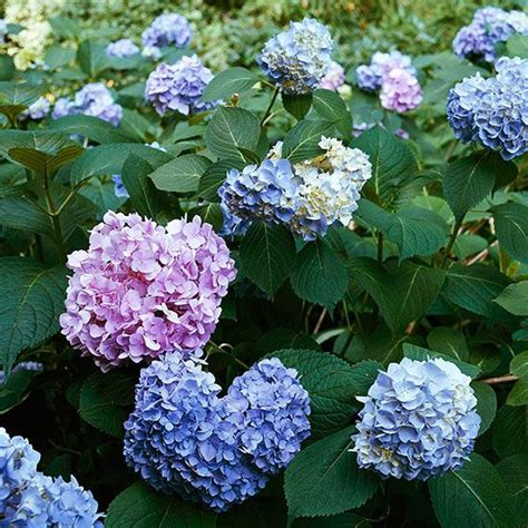 hydrangea flower care hydrangea care 101 plants hydrangea and detail