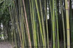 Gros Bambou Deco : d finition du bois de bambou ~ Teatrodelosmanantiales.com Idées de Décoration