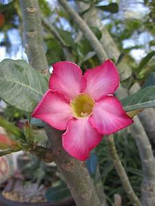 Desert Rose plant | the gardens of life! | Pinterest