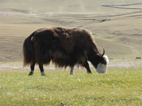 From Horses, Yaks And The Mongolian Way To Bbq