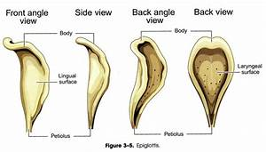 Anatomy & Physiology of Speech Mechanism Study Guide (2012 ...