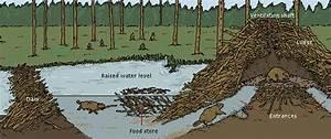 Nature U0026 39 S Loggers  Beavers