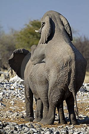 young african elephants mating stock photo image