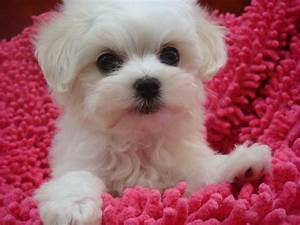 Cute Small White Dog Breeds Dog Breeds Puppies : Five Cute ...
