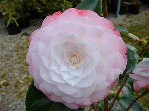 Camellia Japonica Winterhart : camellia japonica 39 desire 39 the garden of eaden ~ Eleganceandgraceweddings.com Haus und Dekorationen