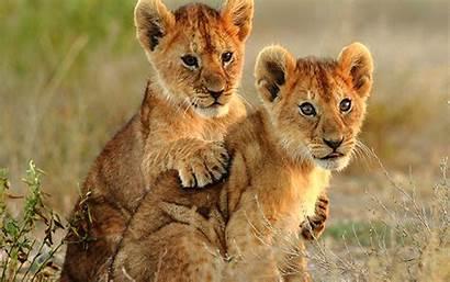 Lion Cubs Cub Lions Animal Wallpapers Laptop