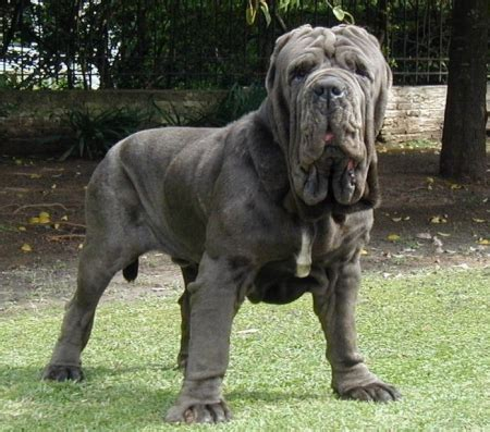 Mastiffs are highly big and powerful dogs with strong biting forces that may be able to kill a wild dog. Adopt Neapolitan Mastiff Puppies & Dogs - SaveARescue.org