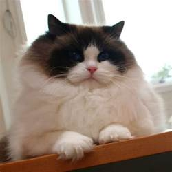 ragdoll cats for information about ragdoll cat