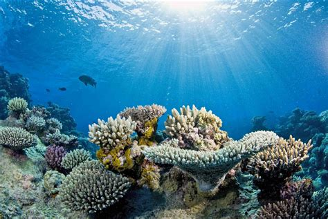 Study projects unprecedented loss of corals in Great