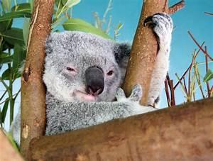Image Gallery smiling koala