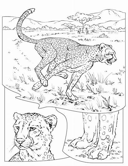 Coloring Cheetah Pages Geographic National Animals Wildlife