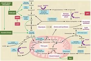 Cell Metabolism Diagram  Retrieved From