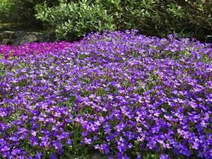 Blumen Für Sonnigen Standort : blaukissen pflanzen und pflegen tipps gartenpflanzen ~ Michelbontemps.com Haus und Dekorationen