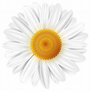 White daisy transparent clip art image - Cliparting.com