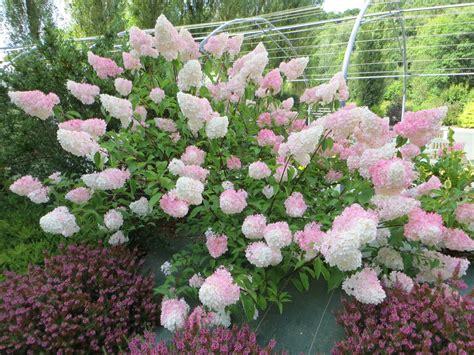 hortensia vanille fraise en ao 251 t p 233 pini 232 res de port de carhaix