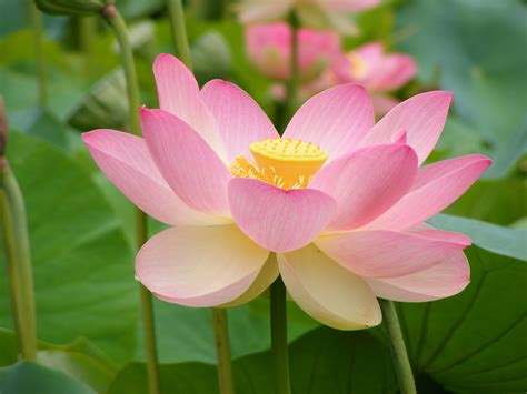 water flower flowers images water lily or lotus wallpaper photos 22283514