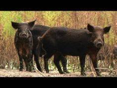 30 Best Wild Hogs images | Hog hunting, Animals, Wild boar