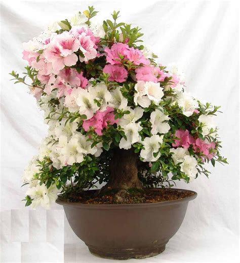 indoor flowers azalea