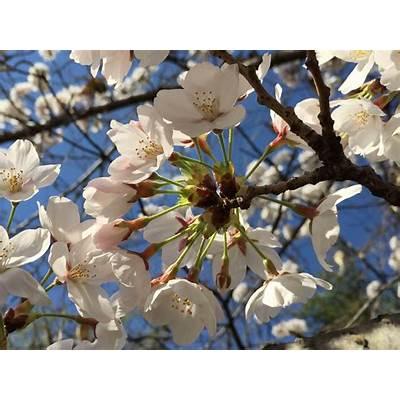 Fotos de National Cherry Blossom Festival - Galeria fotos