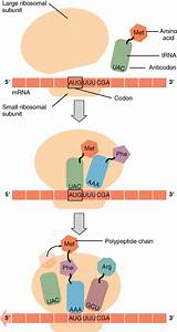 Illustration Of Translation From Rna To Protein  Openstax
