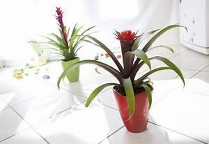 Plantes Exotiques D Intérieur : guzmania entretien rempotage arrosage ~ Melissatoandfro.com Idées de Décoration