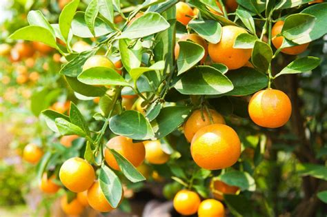 How To Avoid Yellow Leaves On Citrus Trees