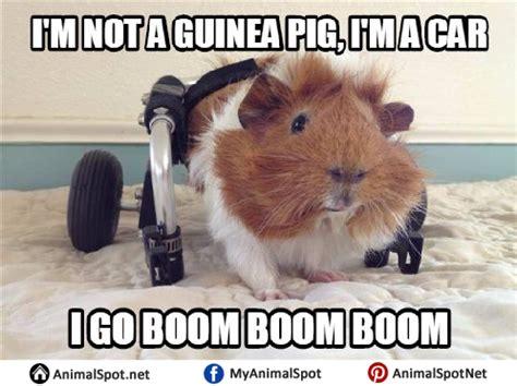 Pig Memes - guinea pig memes