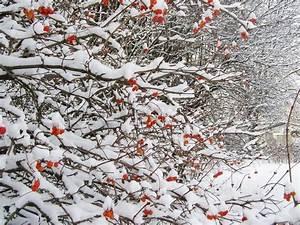 Strauch Mit Roten Beeren Im Winter : strauch mit roten beeren im winter stock foto colourbox ~ Frokenaadalensverden.com Haus und Dekorationen