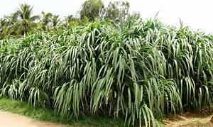 Crop Production::Forage Crops::Cumbu Napier
