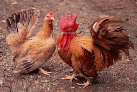 10 jenis ayam kate hias termahal populer di dunia