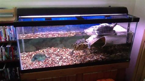 eared slider tank red eared sliders in a 75 gallon tank with basking area youtube