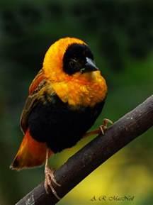 Orange Bishop Weaver Finches