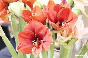 amaryllis hippeastrum conseils de rempotage entretien With tapis chambre bébé avec fleurs a bulbe amaryllis