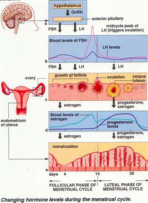 Rahim Wanita Adalah 05 Siklus Menstruasi Intan Riani Ngeblog