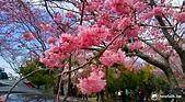 最新消息!拉拉山恩愛農場櫻花盛況 | 旅遊 | 新頭殼 Newtalk
