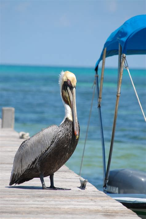 Pelican Boats Belize by 168 Best Images About Pelicano On Lakes Your