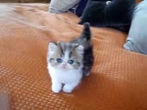 tea cup cats purrerze s quot tea cup quot bi color tabby kitten