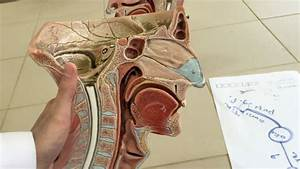 Anatomy Of The Nasal Cavity