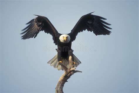 bald eagle landing stock image image