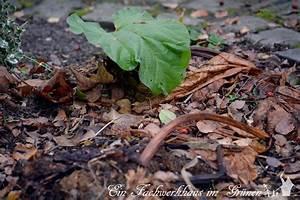 Rhabarber Ernten Im Herbst : der rhabarber wurde umgepflanzt ~ Orissabook.com Haus und Dekorationen