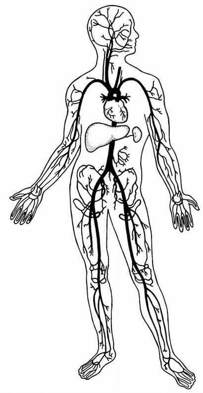Circulatory System Drawing Clipart Human Coloring Fillmore