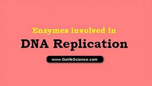 What Are The Enzymes Involved In Dna Replication   Basic