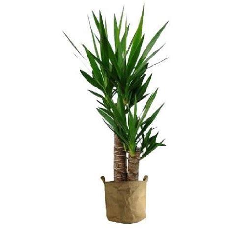 yucca plante interieur ou exterieur yucca 70cm achat vente plante pouss 233 e yucca 70cm cdiscount