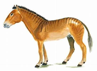 Cavallo Merychippus Evoluzione Selezione Storia Che Cura