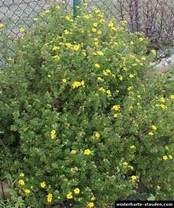 Bodendecker Gelb Blühend : fingerstrauch dasiphora fruticosa syn potentilla fruticosa ~ Frokenaadalensverden.com Haus und Dekorationen
